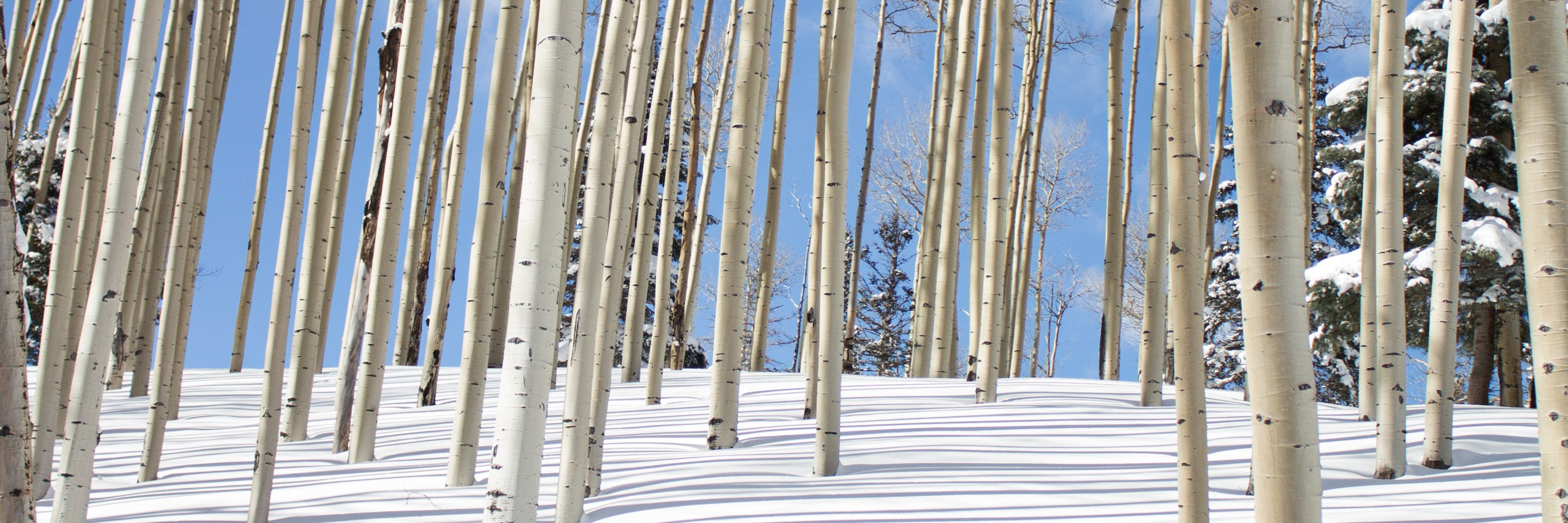 aspen trees in snow